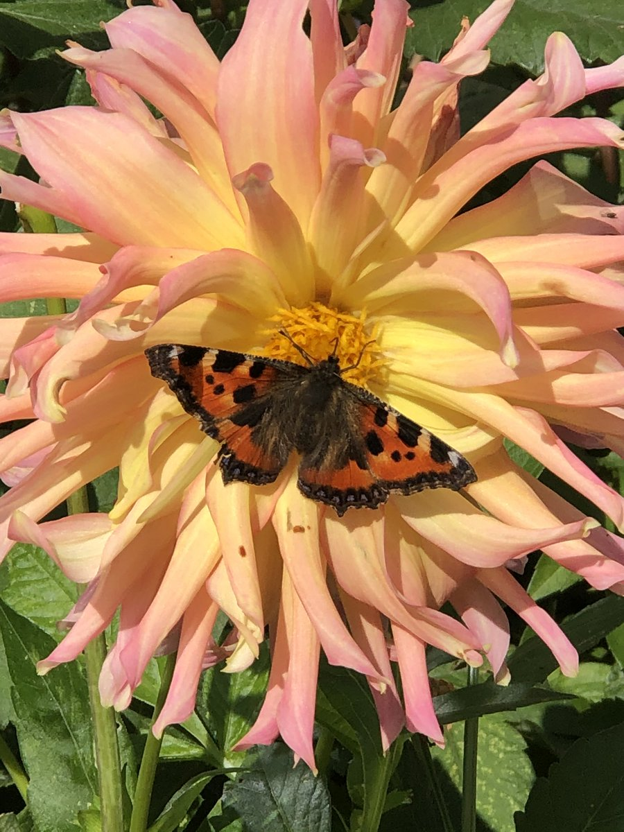 Also loving this Go Go Yellow and Pink this week. Covered in blooms and drawing in the butterflies. @GardensHour #gardenshour #dahlialove https://t.co/i1lDbLIkrM