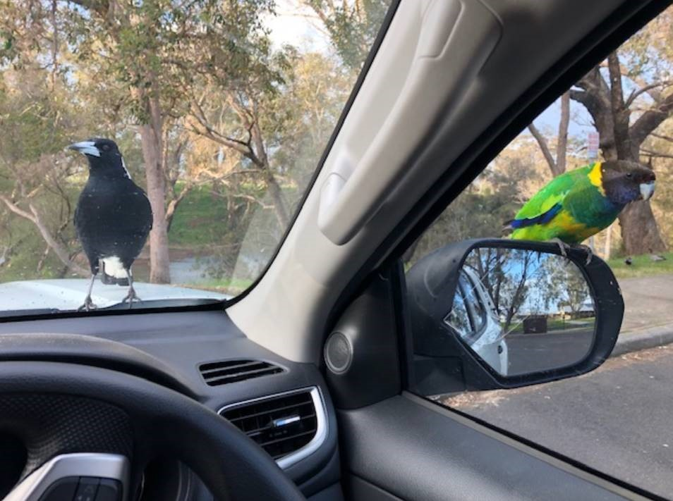 Interested Parties, lunch stop on the road seeing clients, these guys are keen for a bite... 🦜  #GBA #grainbrokersaustralia #letsgrowtogether #agriculture #agribusiness #ruralbusiness #farming #lunchstop #ontheroad #roadtrip #road #trip #keenforabite #hungry #lunch #birds https://t.co/yWitiQKur0