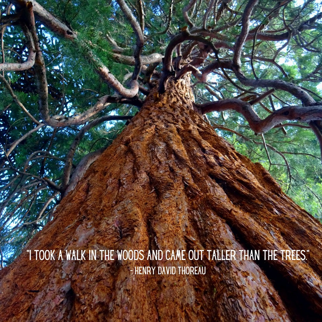 Hope your week kicked off however you wished it to!  #HappyMonday #Thoreau #GetOutside #listentothetrees #Redwoods https://t.co/9bhf2ikLg2