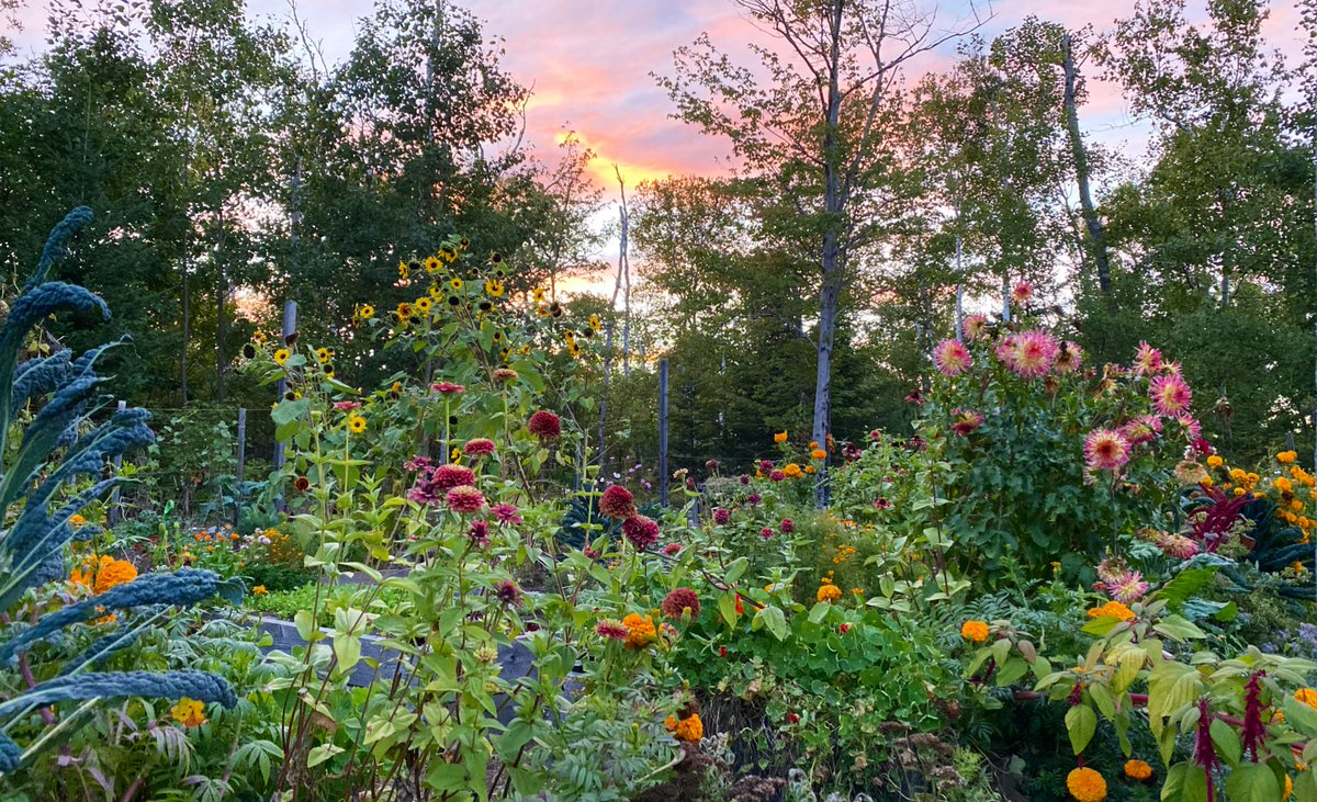 A pre-storm garden pic... the sunflowers and dahlias may not look so vertical once Hurricane Teddy blows through. https://t.co/hO1Hjyw7BL