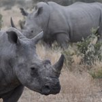 Image for the Tweet beginning: Today is World Rhino Day