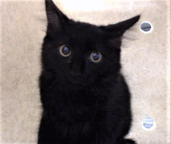 "🆘URGENT🆘EUTH LISTED🆘 🚨ID #A740746 SWEET BLACK KITTEN ""OWLET""🚨 🚨RESCUE ONLY-A FOR SCRATCHING TRAPPER😾 🚨CAN BE KILLED ANYTIME AFTER WED 9/23/20 🚨NEEDS #RESCUE/#FOSTER NOW! 📌4 INFO https://t.co/oYHsLYFg6T 🙏🏽#SAVEALIFE #RescueMe #DevoreAnimalShelter #SanBernardino #CA https://t.co/rI7FPqPHZQ"