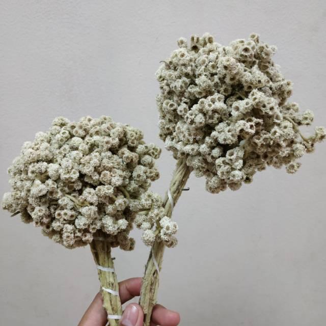 Dikasih bunga edelweis sama pendaki cewek. Eh, btw ini kan ga boleh dipetik. Kalaupun harus dipetik pasti disumputin karena ilegal.  Kok, ini bunga wanginya kecut-kecut familiar gini..  LO SELIPIN DI MANA INI WOY!! https://t.co/Iu0lBDR9EW