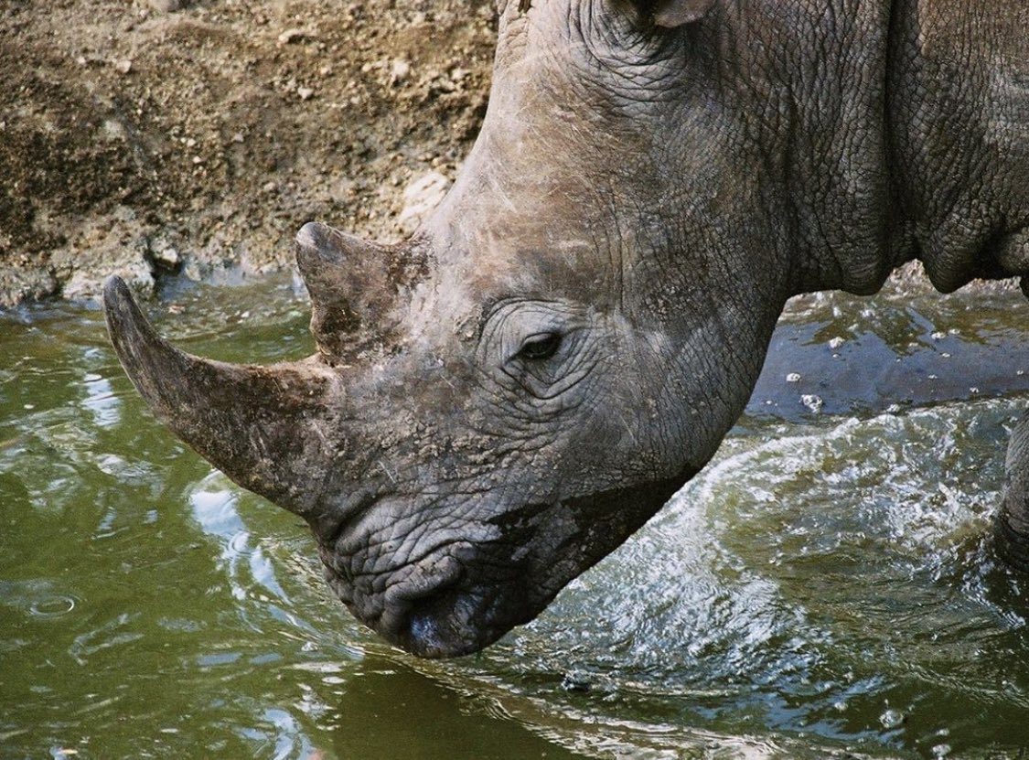 #WorldRhinoDay2020 #LOCKDOWN2020 The strict level 5 & 4 lockdown rules in South Africa reduced poaching of rhino we should have learnt from these statistics and applied some new rules. @RHINOSINAFRICA @savetherhino @SaveOurRhinoK9 https://t.co/3b0bpcTXGS