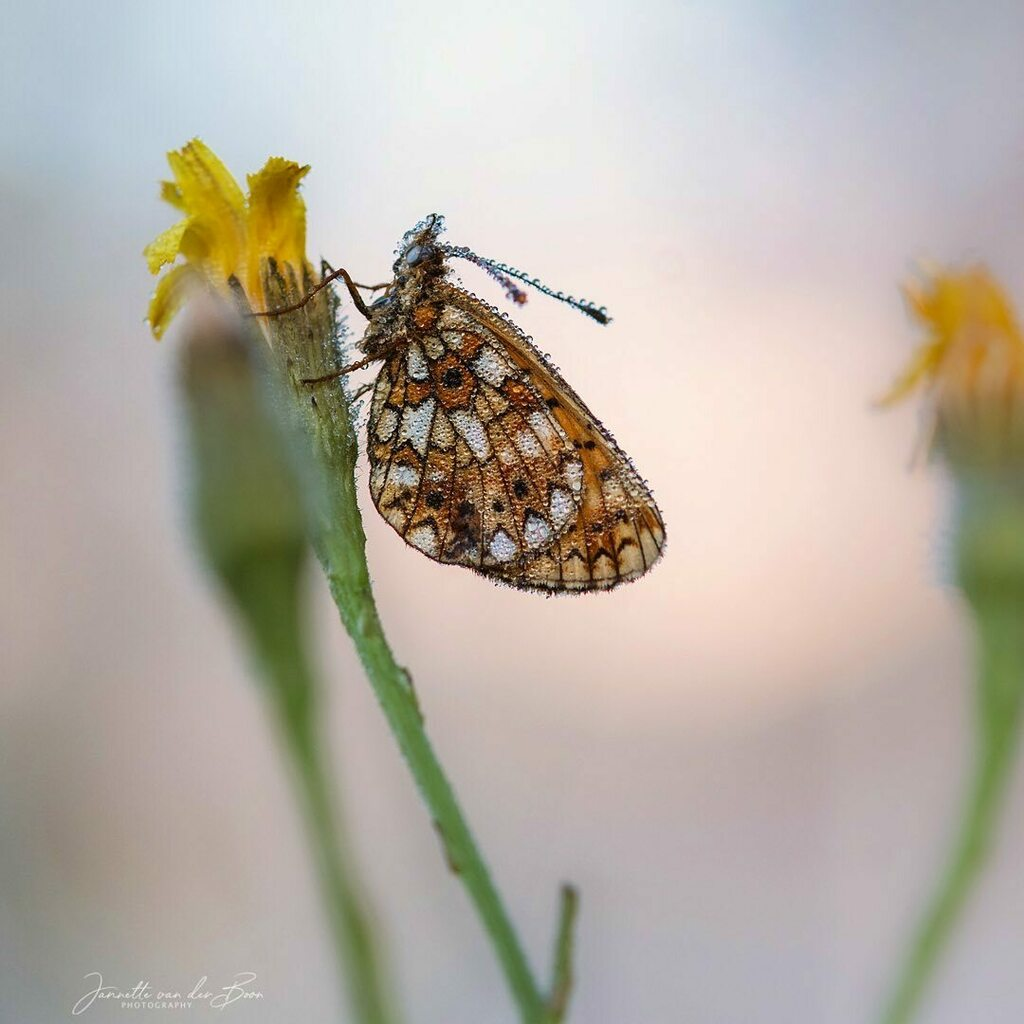 Small Pearl-bordered Fritillary (Zilveren Maan). Photographed it for the first time this year, very happy moment!   ————————————————-  #smallpearlborderedfritillary #zilverenmaan #macro_brilliance #macro_captures_ #macro_vision  #unseenmacro #macrofotogr… https://t.co/inAkYXEDek https://t.co/DRfa12YlGh
