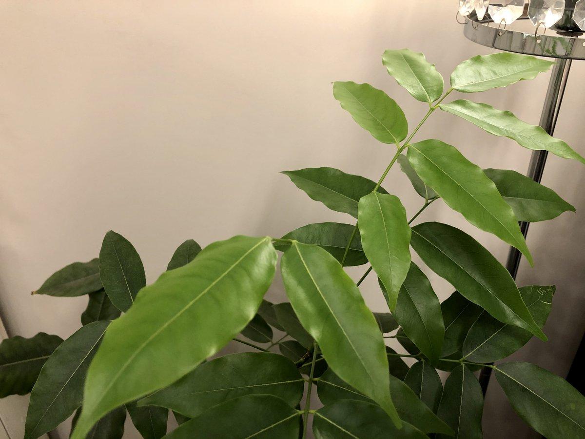 【渋谷校】  新緑の季節ではないですが。光の加減ではなく、上の方の葉っぱが色違うの分かります?スクールの観葉植物に新しい葉がどんどん育ってて、なんか嬉しいな、って思って。 植物も、生徒さんも。育っていくのを見るのは嬉しいものです。どんどん大きくなーれ!  #ボイトレ #渋谷校 #新緑 https://t.co/5WzMtMhcmd
