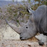 Image for the Tweet beginning: Today is #worldrhinoday. A day