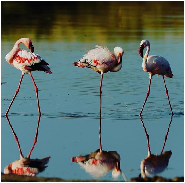 Flamingos are one of the most unique known bird species . They are tall, pinc in color and elegant, with long necks and thin long legs.  #tanzania #flamingos #tanzania #travel_guide #lakemanyara #eastafrica #iloveafrica #kilimanjaro #travelafrica #tanzania #wapoafricasafari https://t.co/LNLrs2iTZV