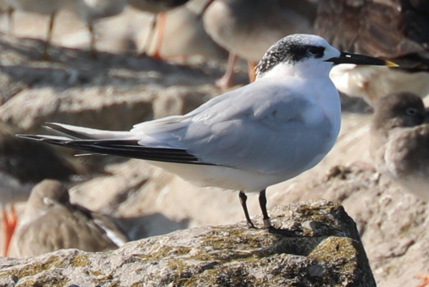 1st and new species for us 😁🪙 sandwich terns on the rocks at high tide at leasowe awesome birds @BBCWinterwatch @WildlifeMag @BBCBreakfast @BBCNWT @Natures_Voice @RSPBLiverpool @RSPB_Wirral #Autumnwatch #bbcnorthwest #shotoftheday #wildlifepotd https://t.co/EZoTG6ZMpb
