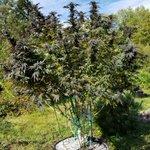 Image for the Tweet beginning: Cherry Pie #Cannabis