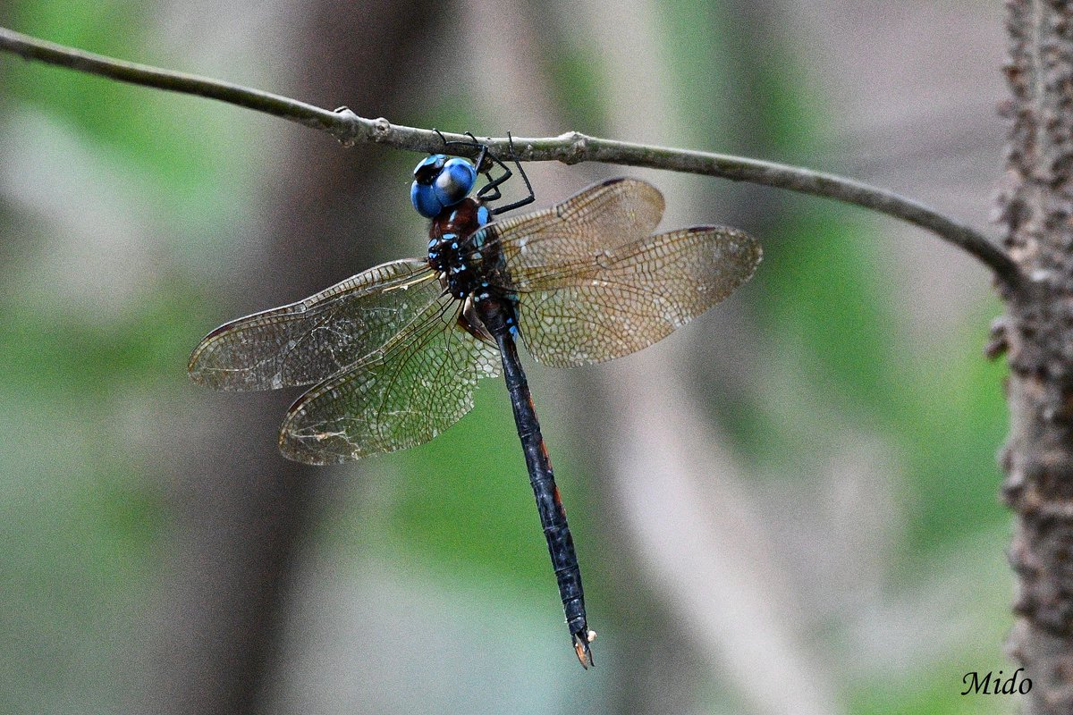 male Anaciaeschna Martini #dragonflies #nature #wildlife #japan https://t.co/MJuzVqYDtZ