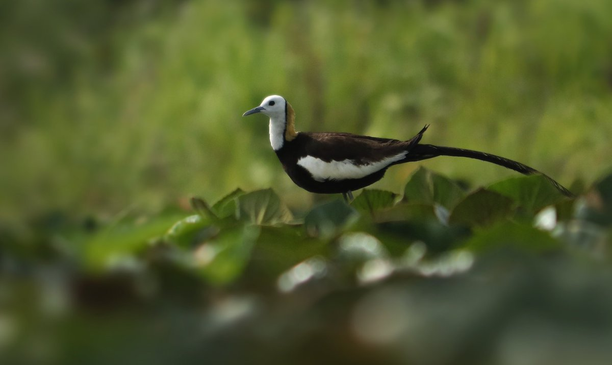 Jacana female. This bird is very beautiful. #bbc #wildlife #birds #birdwatching #beauty #canonphotography https://t.co/YF9UkS8leU