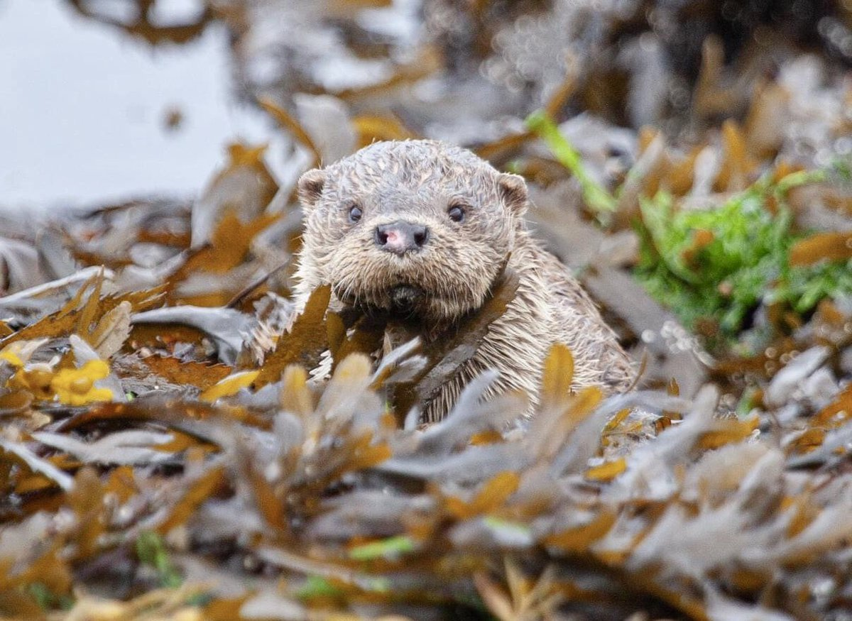 Such a charismatic little thing. Rolling around in the seaweed!   #otter #otters #NaturePhotography #BBCWildlifePOTD #wildlife #wild https://t.co/G4MXowvyOh