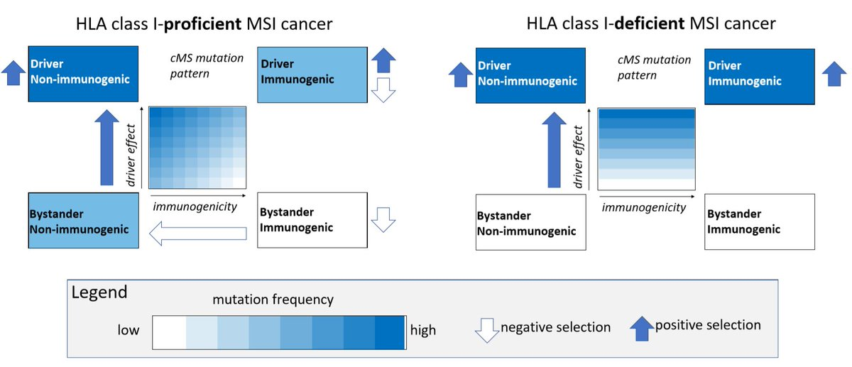 Frameshift mutation landscape and immunoediting in microsatellite-unstable cancers. https://t.co/xtpoXHSrM0 #CancerResearch @ABallhausenMD @PrzybillaMoritz @majendrusch @HauptSaskia @paupfu @Adductor @Sanne_tenBroeke @VHeuveline https://t.co/sQCeZoPkC8