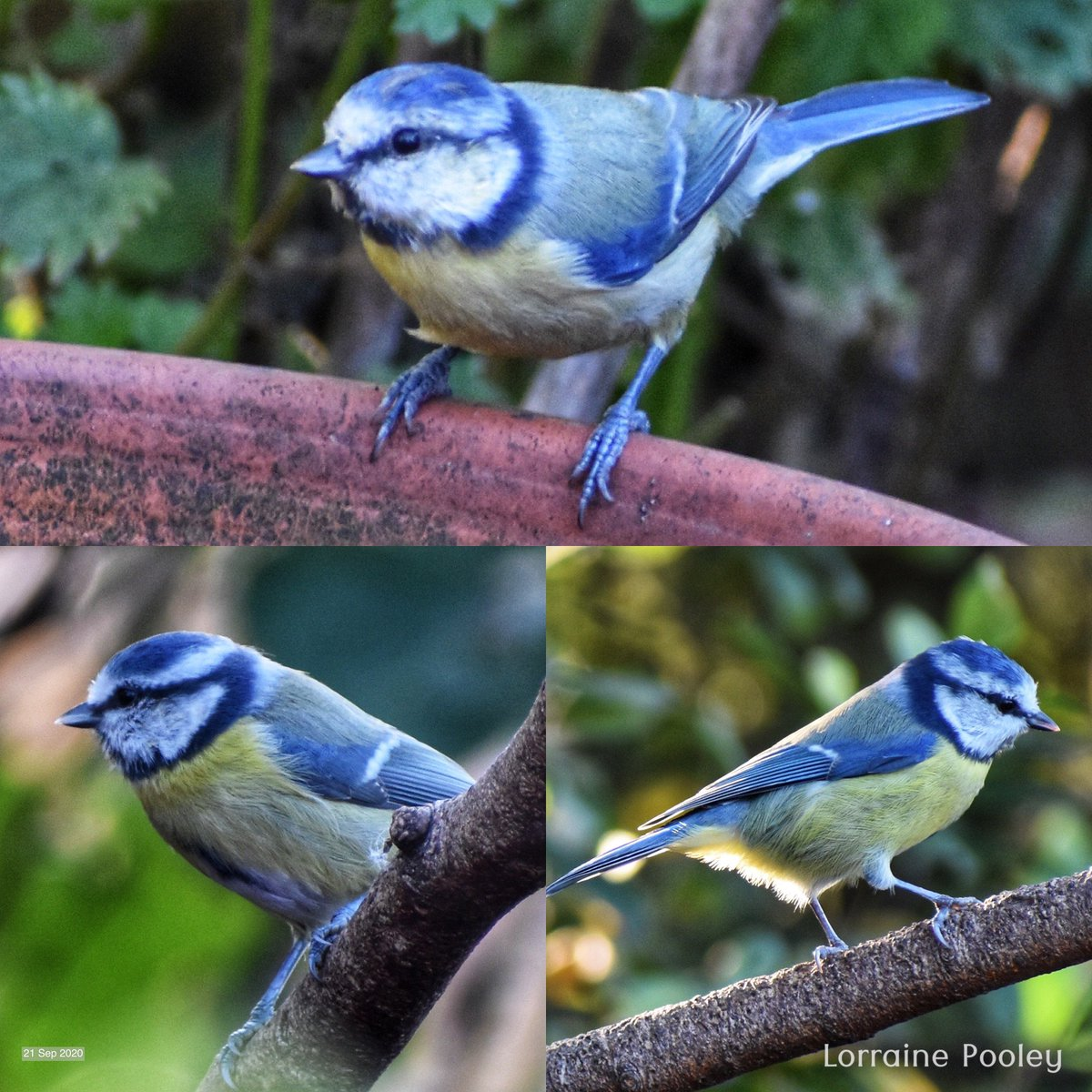 There are lots of #Bluetits on the #Allotment 🙏  Confident, aware, quick, grab a nut & go, bossy but beautiful #Birds   #tinybirds #Garden #wildlifephotography https://t.co/HXAulLxlGu