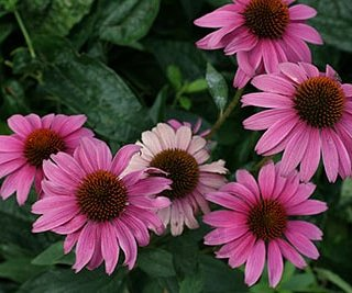 Echinacea purpurea, a honey bee favorite with its large landing pad and plentiful nectar supply.  Click link for  bee friendly gardening. #UF honey bee lab #honey bees #local pollinators #pollinator friendly landscaping https://t.co/KAAnjbD1hw Photo: UF/IFAS Gardening Solutions https://t.co/UsjNGeyiCY