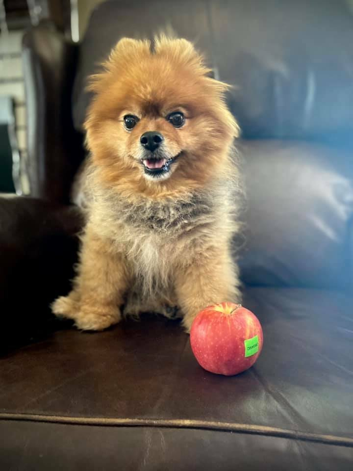 An #apple a day keeps the #doctor away! Been drinking 🍺 a little bit than usual, have to get on my #healthy habits woof woof! 🐾🐶😊😘 #Pomeranian #abc7eyewitness #puppygram #pomstar #weeklyfluff #woofwoof #cutedogs #pomeranianlife #thedailypomeranian #thedailypompom #barkbo… https://t.co/Jh6qAszrGy