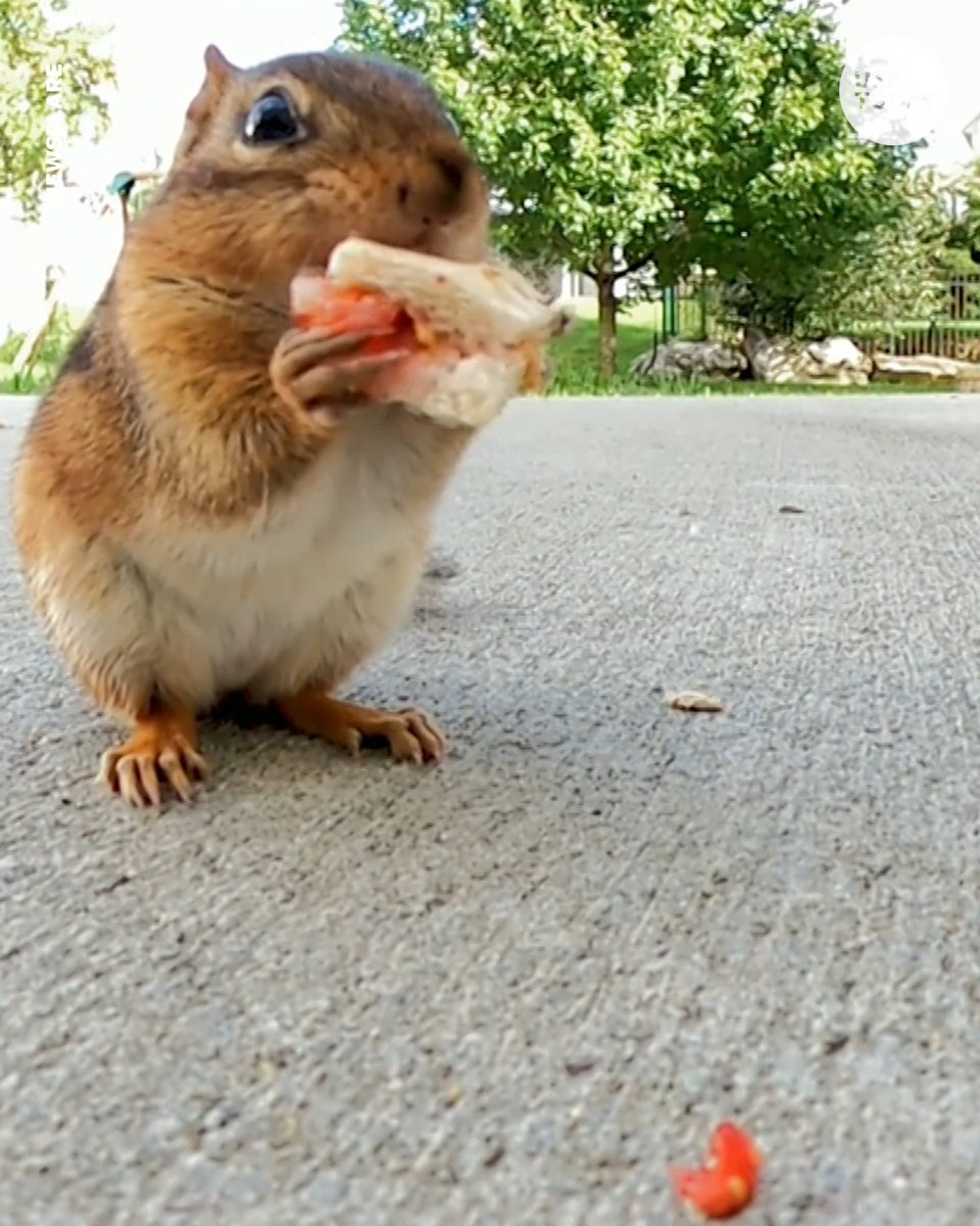 This hungry little guy couldn't get enough of a tiny sandwich. 🐿