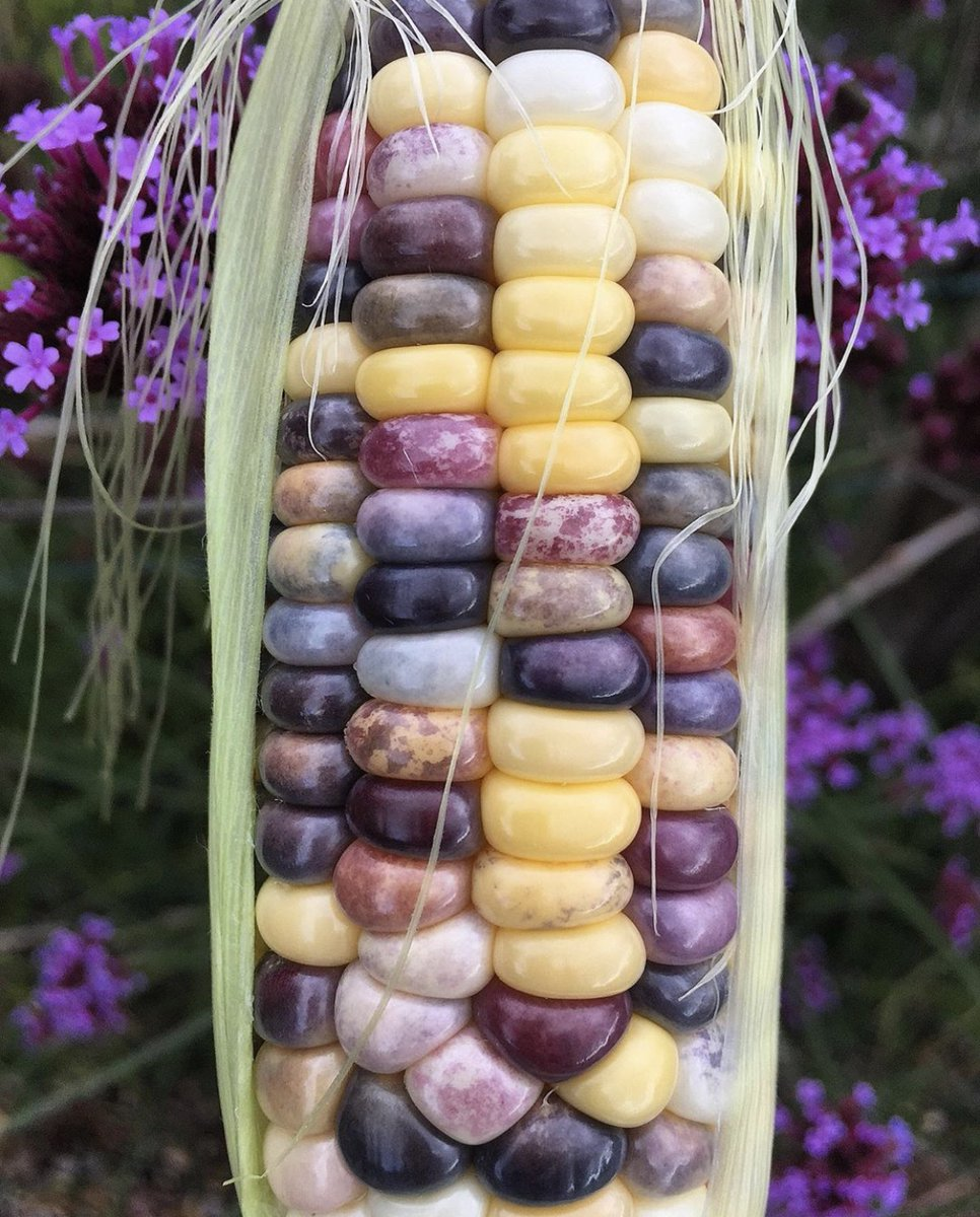 We can't get enough of this gorgeous sweet corn. It's commonly known as Astronomy Domine because of its colorful, galaxy-like kernels. ✨💜 - Amazing corn from @bettinakbh https://t.co/Uq4rwHRbsu https://t.co/9FiNuplvWJ