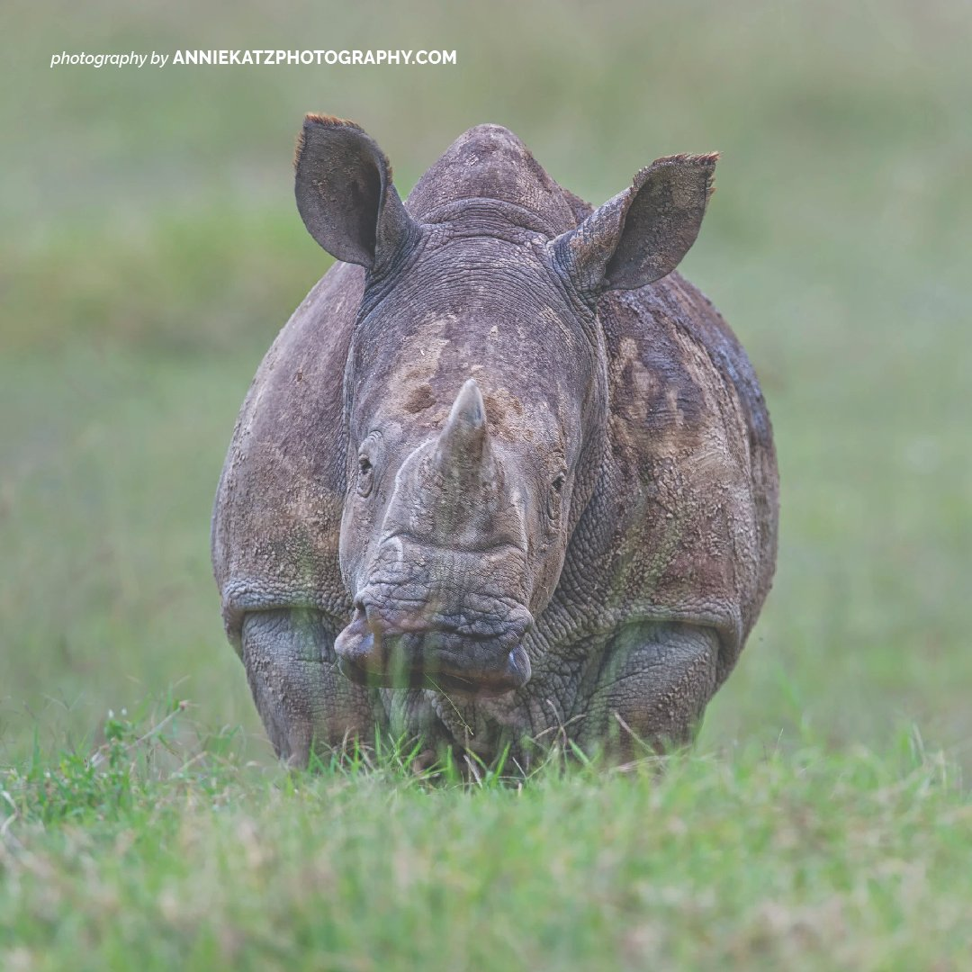 The biggest threat facing rhinos in Africa is poaching - these big mammals are killed for their horns which are falsely touted as a cure for hangovers, impotence and cancer. Pledge to protect these endangered species this #WorldRhinoDay https://t.co/EaePXjtbNB https://t.co/2Y9AcY4iVQ