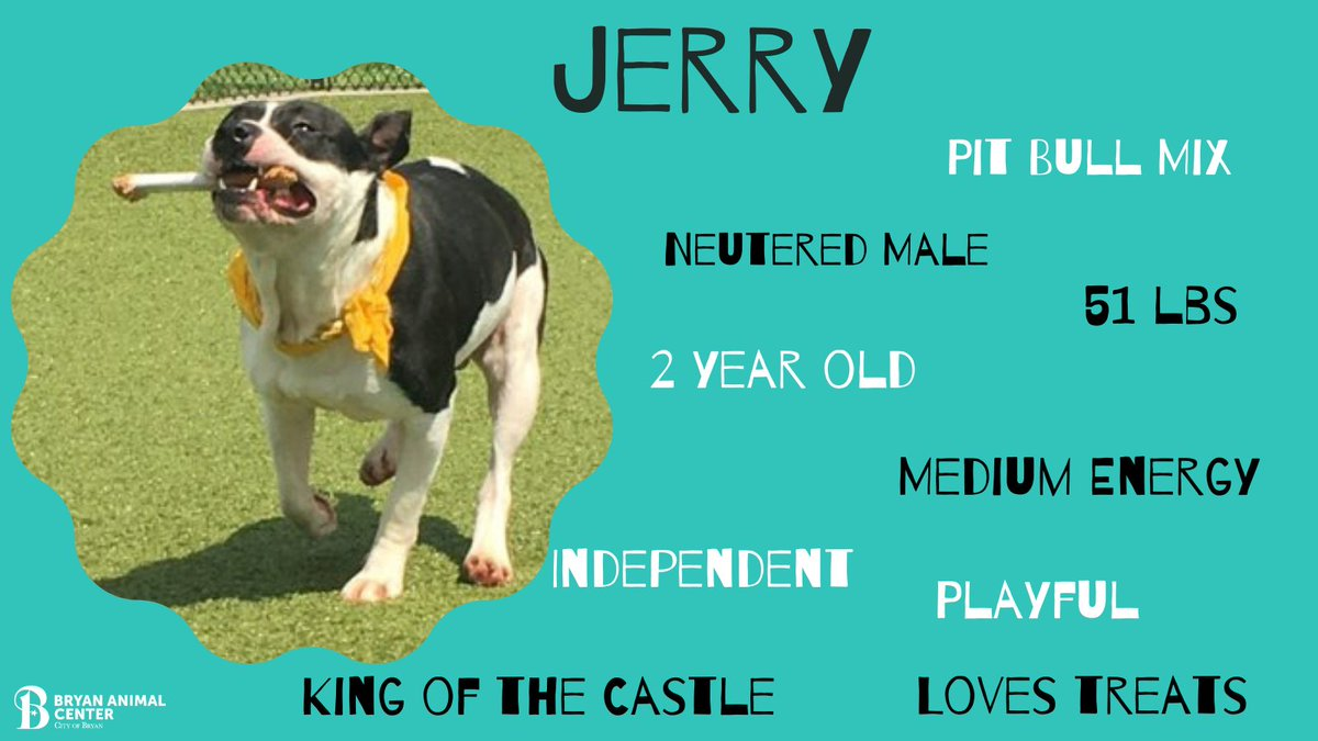 Jerry has been waiting patiently for his forever family for 9 long months. Jerry has such a big personality and has won the hearts of all the staff. He loves to play with toys and play keep away. #BryanAnimalCenter #Adopt #pitbulllove #Pickme #Playful #CityofBryan #Rescue #dogs