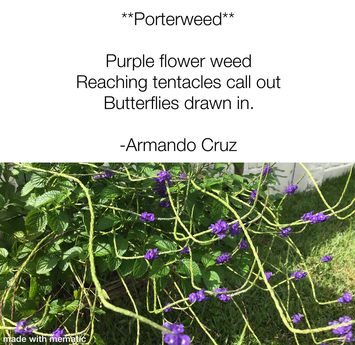 Today's haiku, - 9/22/20 **Porterweed** Purple flower weed Reaching tentacles call out Butterflies drawn in.  - #art #haiku #poetry #butterfly #butterflygarden #porterweed https://t.co/siUtoak48A
