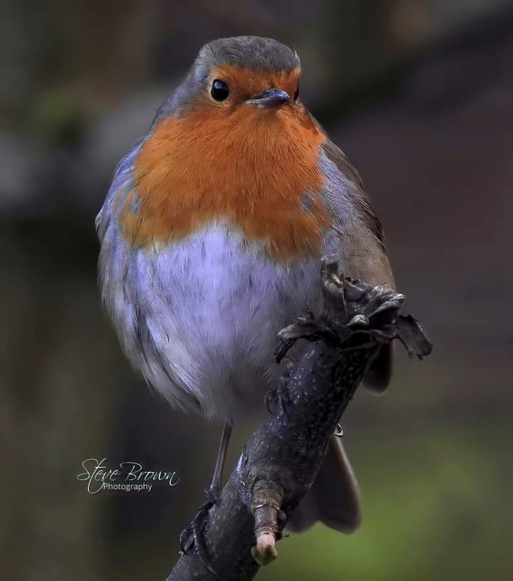 European Robin #photography #NaturePhotography #naturelover #beautifulworld  #wildlifephotography #birds #jungle https://t.co/A5RXDJRFQJ