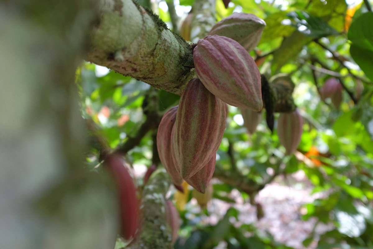 ✅ We launched a new #EU dialogue on sustainable #cocoa. This will help to guide the sectors recovery from #Covid19, while finding solutions to sustainability challenges. #EUTrade is not only about growth+profits, but also social/environmental progress👉 bit.ly/35XNdrx