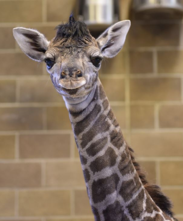 It's a GIRL! Say hello to the tallest baby at the Sac Zoo!  Naming a baby giraffe? Now that's a TALL order! Check out TWO new baby giraffe experiences in our Auction 2020, going live today at noon! Visit our website for the full scoop. https://t.co/kUBzWVSbGg  #SacramentoZoo https://t.co/skxwxjVyhQ