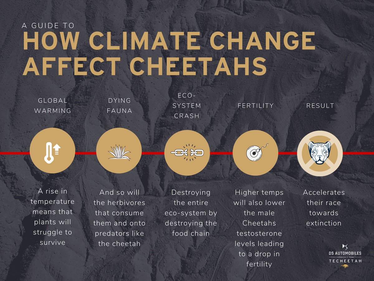 As for all animals in Africa, climate change is going to affect Cheetahs in a couple of ways 👇 As they are already at a dangerously low population of around 7000, a rise in temperature accelerates their race towards extinction. Help us make a difference https://t.co/WjwWuaRazo https://t.co/dNieQOpff0
