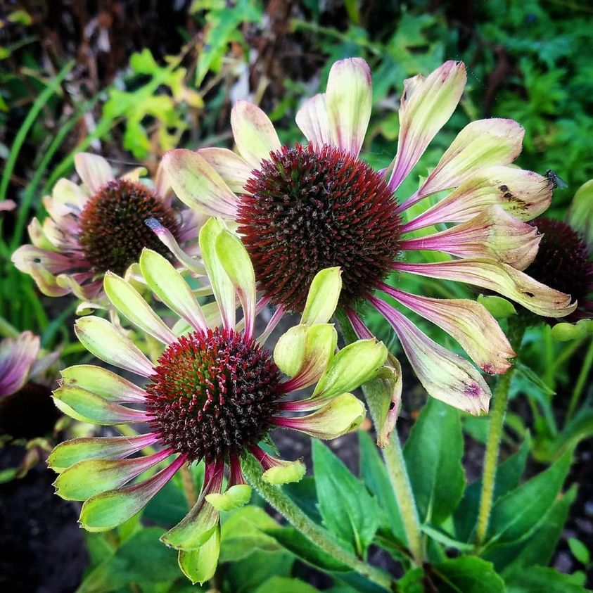 Echinacea green twister....at @BluebellCottGdn ...I didn't like it initially but now I love it.....I'm a fickle fellow. Hopefully @suebeesley will let me have some seeds... https://t.co/4pgYw6AJQg