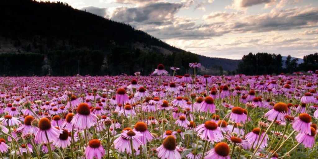 Why do we love echinacea?  🌷Traditionally used in herbal medicine to support a healthy immune system  🌷Increases white blood cells to protect and support overall good health  🌷So beautiful to look at! https://t.co/ghySgNCR41