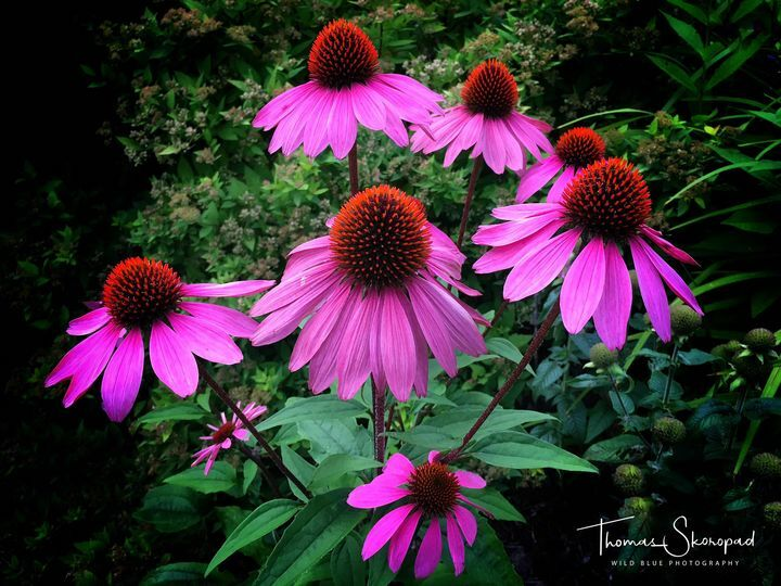 Echinacea Purpurea/Coneflower Our garden August 2020 #Echinacea #Gardening https://t.co/oYxUQtpO2d