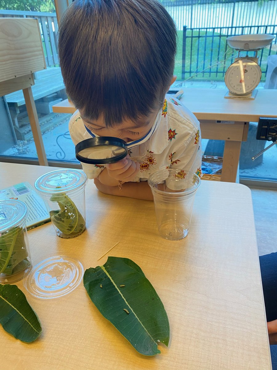 Monarch caterpillars are growing and thriving under the care of our Kindergarteners. There are so many questions: How big will they get? How much will they eat? And when will they become butterflies? #ESHkids #monarchbutterflies https://t.co/H0WpX1UAE6