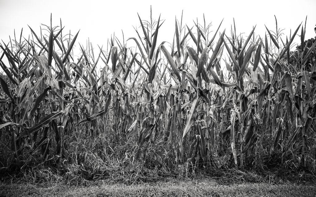 Into the Corn   #beyondportraits #natgeoyourshot #clickpromasters #bnw_world #bnw #blackandwhite #monochrome #landscape #cornfield #landscape_lovers #acreativedc #exposeddec #fotodc #fineart #landscapephotography #seetheworld #nikonz6 #nikonusa #modernart #america https://t.co/Ba9fx20ShW