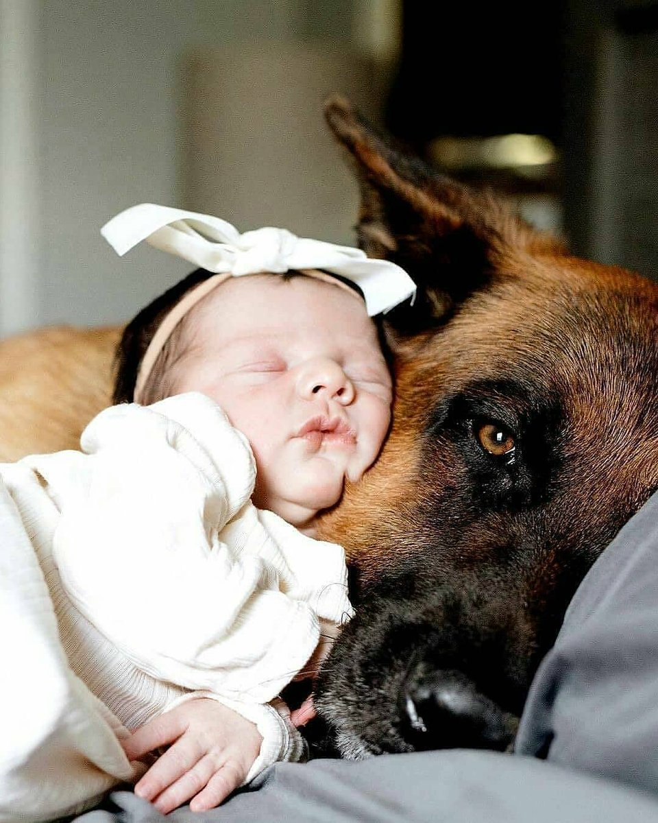 "Do yuo love #germanshepherd  ? comment ""yes"" and follow me for more update #germanshepherdsonline #germanshepherdsofinstagram  #cutepuppy #germany #k9 #cute #puppy #germanshepherdofinstagram #germanshepherdpuppy #dogsofinstagram #shepherd #blackgermanshepherd #gsd #puppies https://t.co/HZEWOIKL8o"