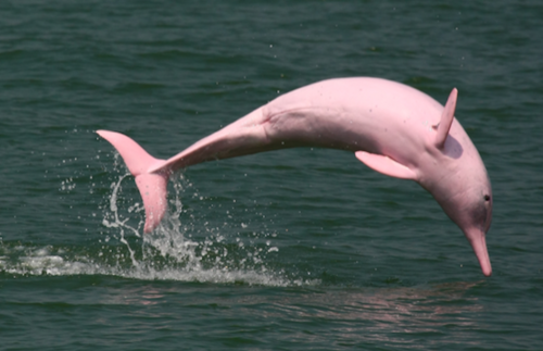 Rare pink dolphins are coming back to the waters around #HongKong.   https://t.co/e1RGMwCpOl https://t.co/FBA18PNpzM