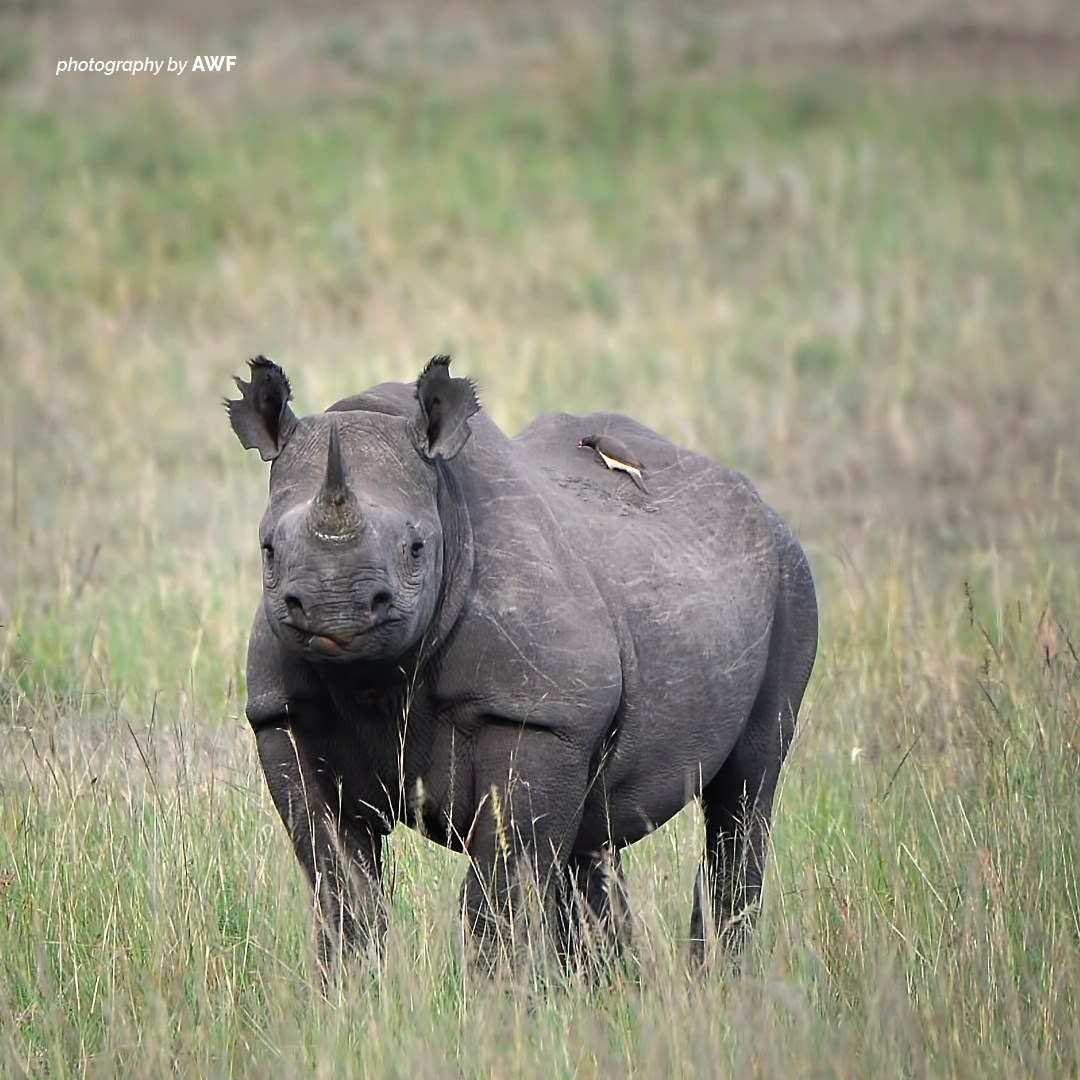 AWF trains wildlife scouts and rangers in surveillance, tracking, wilderness survival, and other essential skills to combat illegal wildlife killing and trafficking. https://t.co/eEY350OmQ4 #WorldRhinoDay https://t.co/0tOq2omaNN