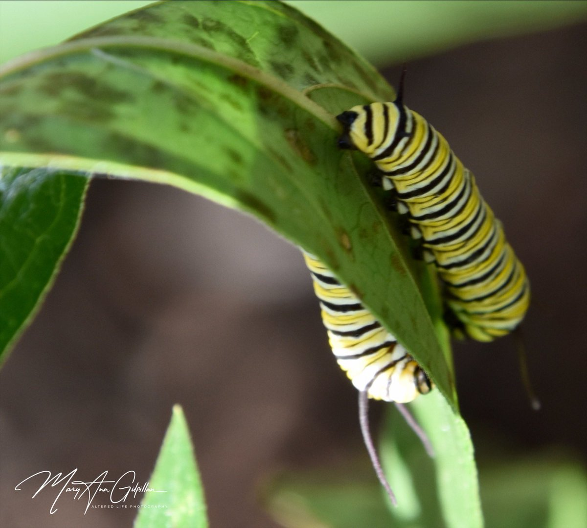 From caterpillar to chrysalis to butterfly!  I started raising butterflies this year! #Butterflies #Monarchs #photooftheday https://t.co/7fKvnkAukB