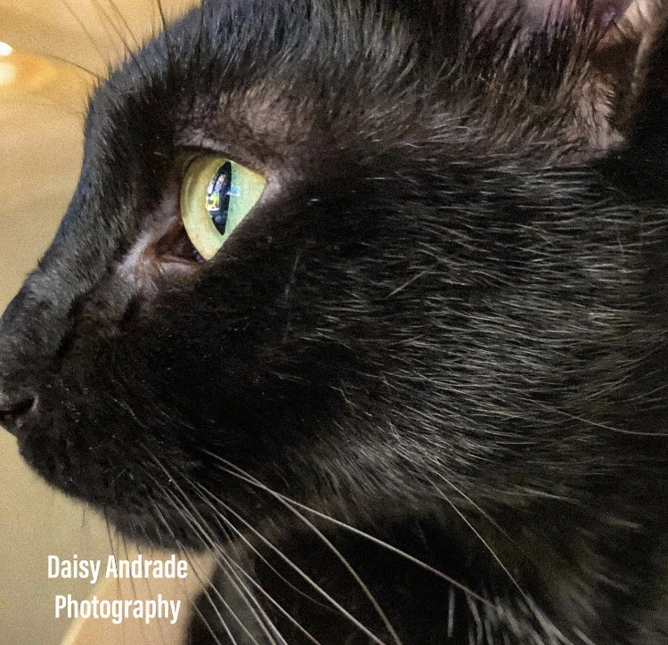 My precious little model 🙌🏽📷🐱🥰♥️🤗  #daisyandradephotography #catsofinstagram #catlife #cat #catscatscats #catmodels  #blackcat #mymunchkin #myfurbaby #mybaby #kingkong #catphoto #mybear #California  #catphotography #myteddybear #mylove #abc7eyewitness #abc7community #vistala https://t.co/aJw1yxIdiW