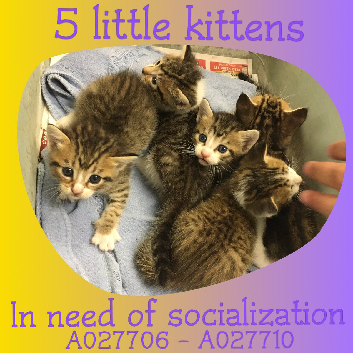 We have 5 little #kitties in need of socialization!   They're about 6 weeks old, and are looking for a #foster for a few weeks to help them grow big and strong, and to #help them get used to being around people. https://t.co/JZxpWLhb48