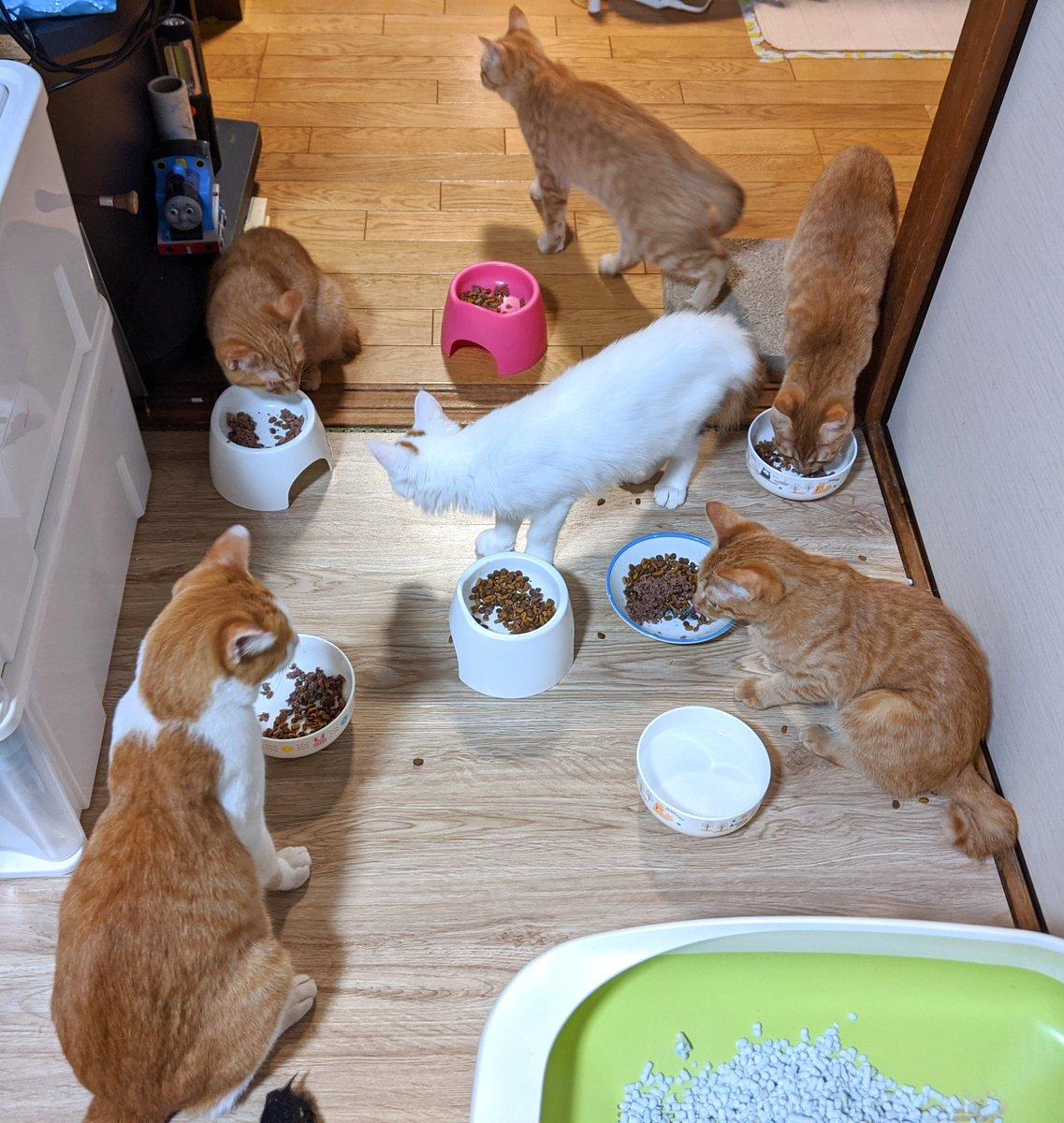 ぴぃも仲間入りでみんなでご飯😻 くろまめはわちゃわちゃしてるの苦手なので、離れて食べます✨ でかくなったなぁ〜🎶 #里親募集中 #野良猫 #保護猫 #庭の猫 #猫大好き #茶とら猫 #猫の親子 #黒猫 #三毛猫 #猫のいる暮らし #猫の多頭飼 https://t.co/LWLUj9rLL3