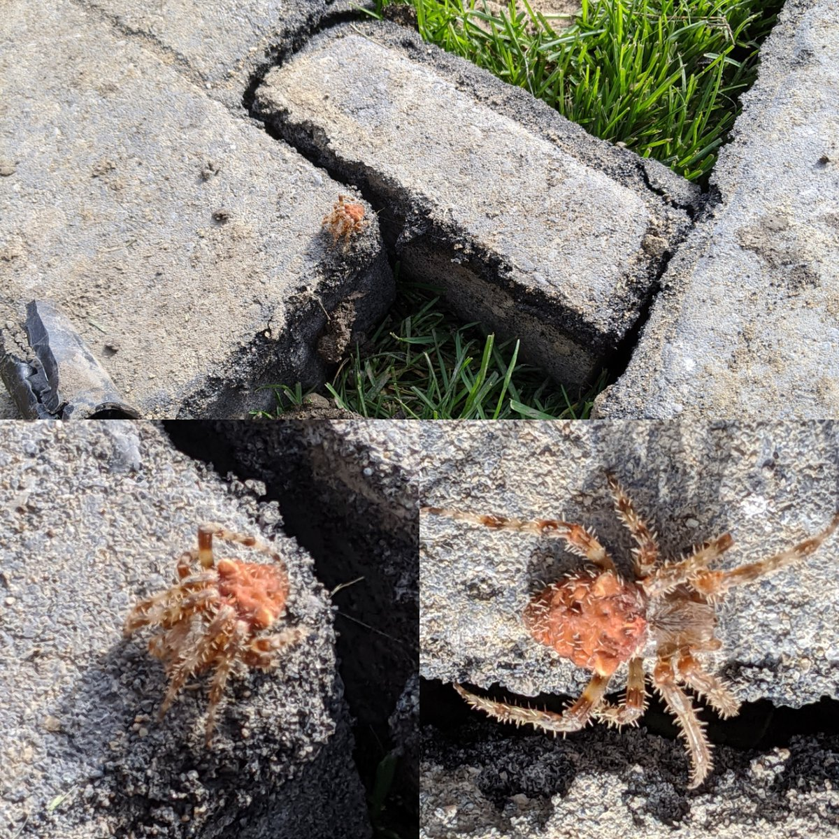 Always running into all kinds things #landscaping but this is my first encounter with a #spider like this.  #landscapinglife #outdoors #garden #gardencreatures https://t.co/4qlhuIVve2