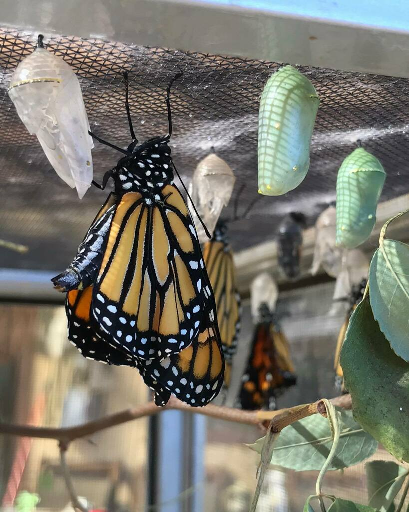 This batch seems much healthier than the last. #monarchbutterfly #monarchs #danausplexippus #butterflies #insects #lepidoptera https://t.co/h9xdwVc9Js https://t.co/aAExFXkHwp