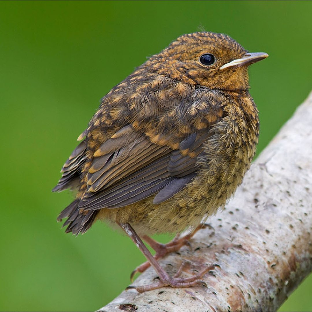 How do you identify #wildlife species?  Get our top ID tips on UK animals and plants, from insects and spiders to birds, bees, and trees.  https://t.co/py5CSNlhle #WildlifeWednesday https://t.co/J1nG6EtWIe