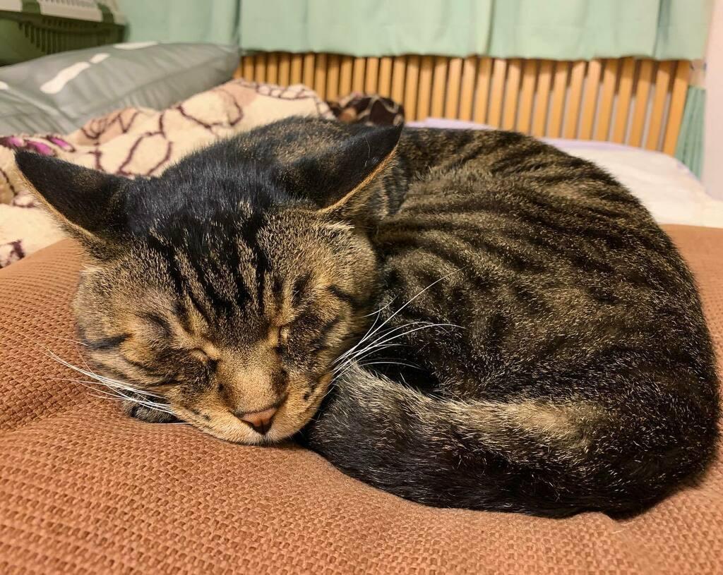 夕方ムサシさん。雨の日は眠い。Sleepy head.💤 #musashi #mck #cat #キジトラ #ムサシさん #musashi_the_cat #ねこすたぐらむ https://t.co/kzvN2wEEpU https://t.co/gwtZjfnsHP