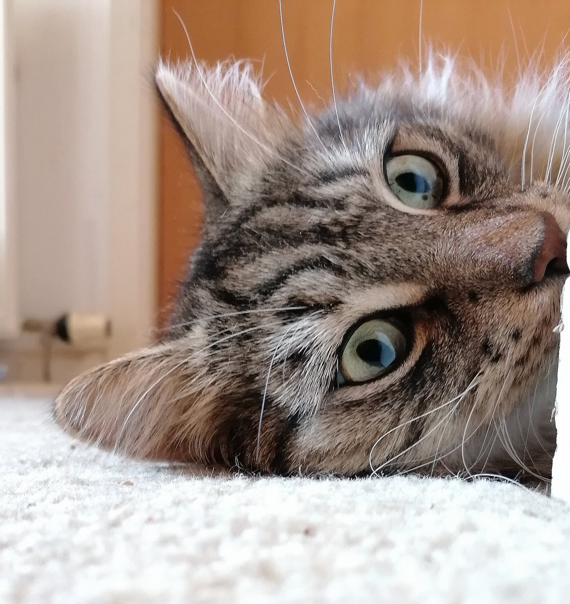 Tufts of fluff ⛲ #fluffyfursday #catsoftwitter https://t.co/49MO3Zm5Tf