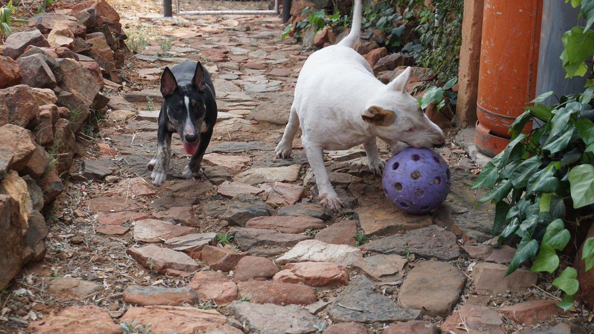 More dog pics from last week during our #Bankenveld #bushveld break.   #bullterrier 😍 https://t.co/9ASAeIW8Gk