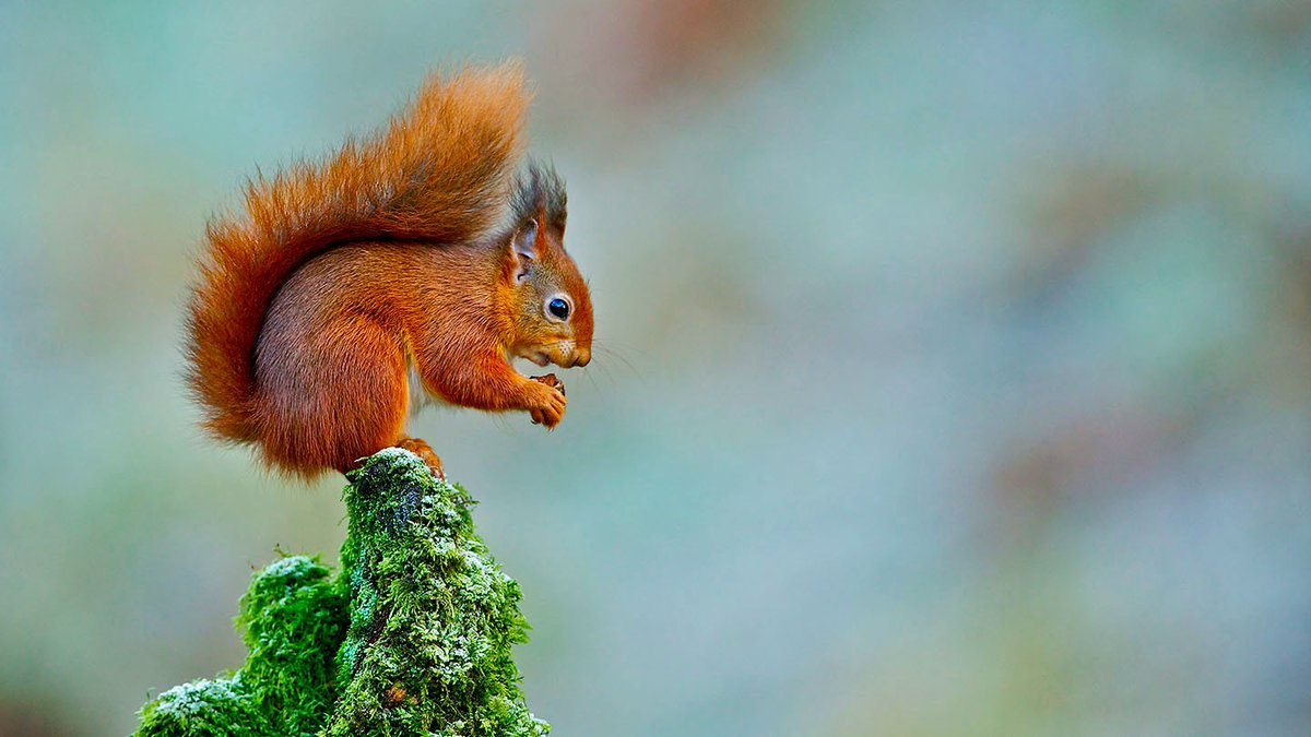 Where do the UK's #RedSquirrels live? How can you spot them? What do they eat?  Learn more about the UK's only native squirrel https://t.co/25nAuqXByG #RedSquirrelAwarenessWeek https://t.co/hlKfyPaiat
