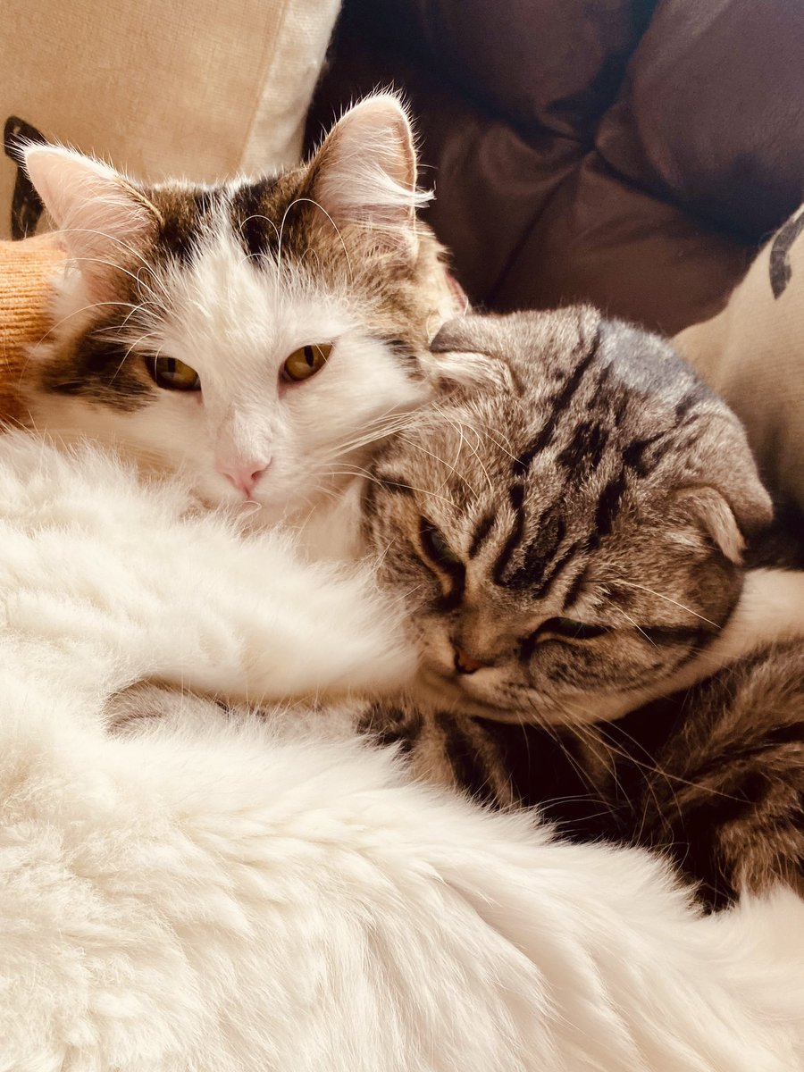 A close up of us tickling each other with our whiskers for  #whiskerswednesday #CatsOfTwitter #HumpDayHappiness #midweek #WednesdayMotivation https://t.co/E4NtM106rE